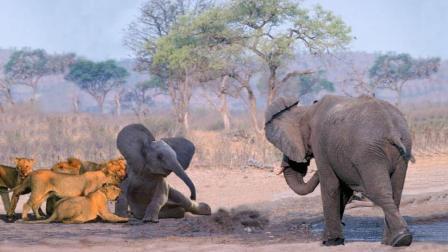 狮子捕食落单小象, 反被大象妈妈疯狂碾压, 镜头拍下狮子后悔瞬间