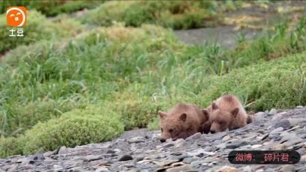 阿拉斯加的棕熊_电影_狼趁母熊捕鱼, 欲小熊, 母熊喝退贪狼