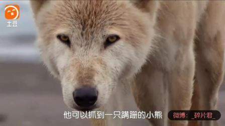 阿拉斯加的棕熊_电影_狼欲落单小熊, 熊妈妈教训贪狼