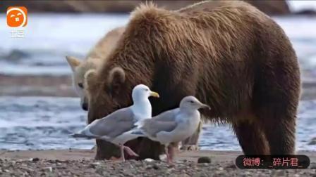 阿拉斯加的棕熊_电影_狼学捕鱼不成便偷棕熊的