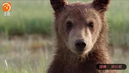 阿拉斯加的棕熊_电影_母熊掩护小熊逃离, 小熊兄妹失散又重聚