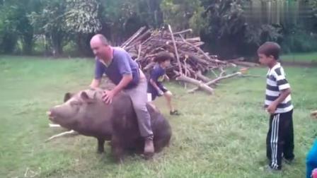 外国人把猪当马骑, 没有一个不作死的