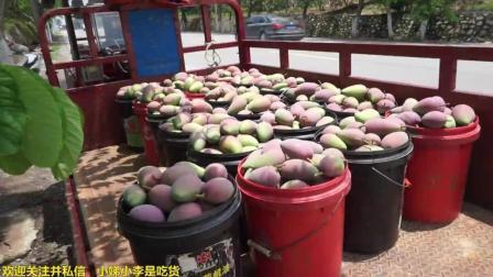 百色芒果上市了, 小李带大家在烈日下看芒果的采摘