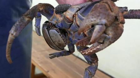 巨型椰子蟹看起来都会让人流口水