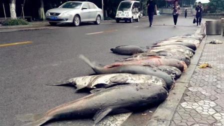 重庆一高校捞起多条巨大湖鱼 校方决定免费给师生食用