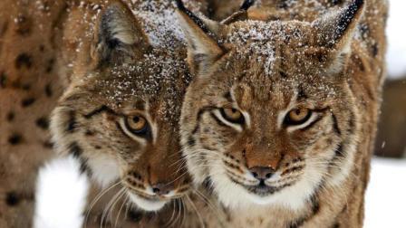 凶猛大猫竟能捕食猎狗! 不是老虎的它们却称霸森林