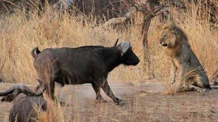 「自然传奇」狭路相逢勇者胜, 称霸非洲草原的狮子怕水牛?