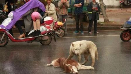 狗狗过马路被车撞死, 同伴呜咽哭泣不肯离去, 他们的表现让人心寒