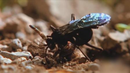 大黄蜂蛰晕蜘蛛拖回巢穴 竟是为在蜘蛛身上产卵借肚生子