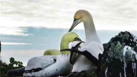 世界上最孤独的鸟, 竟爱上混凝土做的土雌鸟, 离世后成为当地的传奇