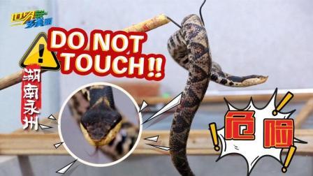 近距离接触四种毒蛇! 千万不要和眼镜蛇对视!