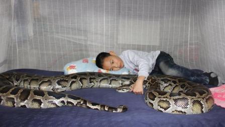 泰国蟒蛇生吞小孩, 肚子被划开后, 吓坏了在场的所有人!