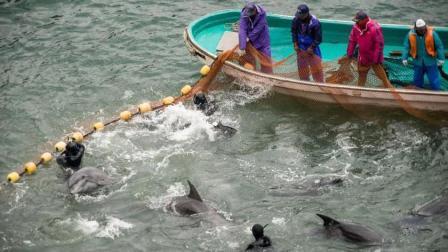 日本最臭名昭著小镇: 每年捕杀近3万只海豚, 摇身一变成海豚主题小镇