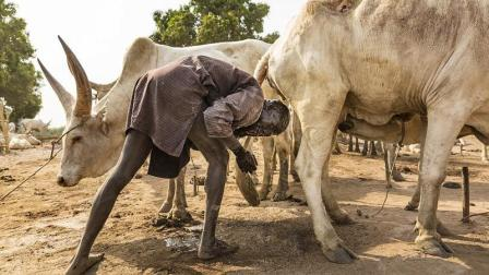 非洲人竟然用牛尿洗头! 万一牛要拉屎了该怎么办?