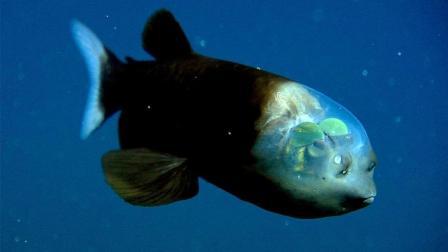 深海惊现头部透明的奇特物种, 大脑眼睛清楚可见