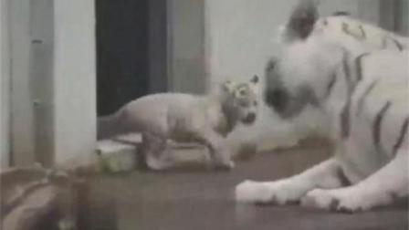 小老虎把妈妈吓得摔了一跟头, 熊孩子真是虎!