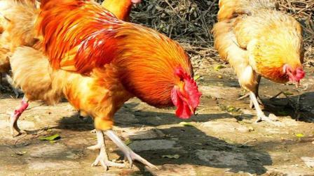 公鸡进了母鸡群, 仿佛到了女儿国
