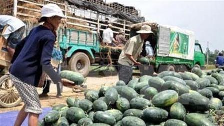 为什么越南西瓜降价出售也无人问津? 只因中国人去老挝租田种瓜