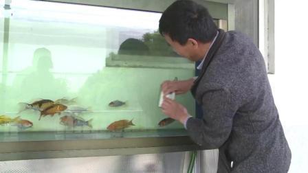养鱼也能这么轻松? 大叔养鱼玩出新花样, 1分钟清除95%的鱼便颗粒