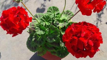 天竺葵很容易养, 不开花, 简简单单就可以解决