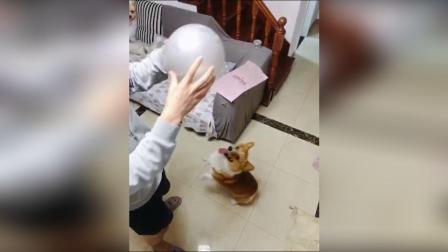 美拍视频: 短腿柯基顶球球#宠物#