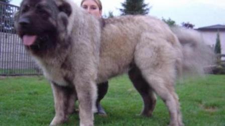 青狼高加索, 生生被国人玩成200公斤巨胖犬, 高加索离肉狗不远啦