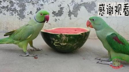 买了半个西瓜犒劳两只聪明的鹦鹉, 看到最后的我笑哭了!