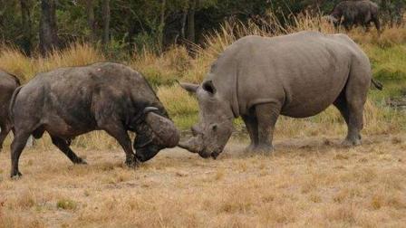 犀牛单挑野牛, 残酷的非洲大草原, 食草动物也疯狂