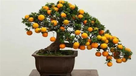 花市上卖的果树盆栽, 到底是怎么做出来的? 今天算长见识了