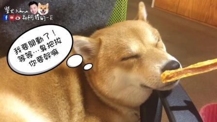 狗狗熟睡后嗅觉会不会失灵? 柴犬奈奈告诉你答案!