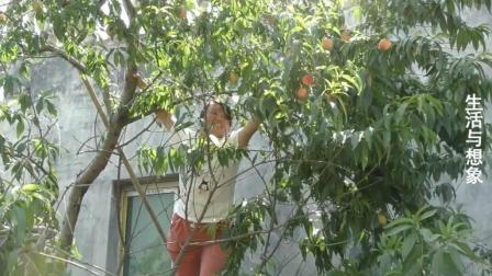 安徽阜阳: 农村130斤女人爬树摘桃, 树枝差点断真是拼