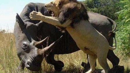 动物世界 三头狮子大战犀牛, 好一场以弱胜强的激烈战斗