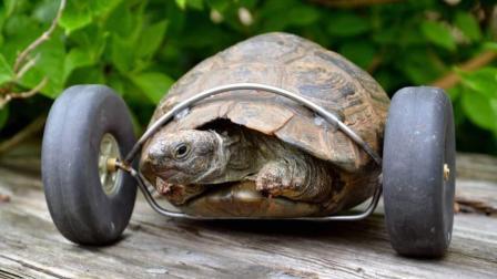 """乌龟被老鼠咬断了腿, 主人给它装上""""人造腿""""后, 跑得比兔子还快!"""