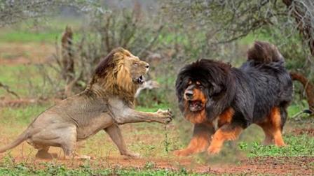 凶猛无比的藏獒真打得过老虎吗? 看看差距就知道了