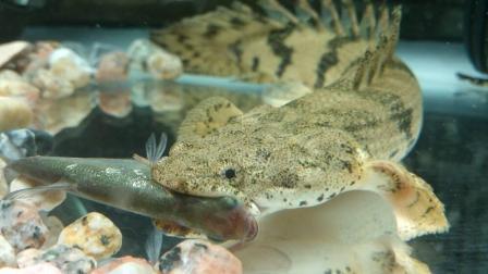 世界上最漂亮的鱼类之一: 恐龙鱼! 有鱼友喜欢的吗