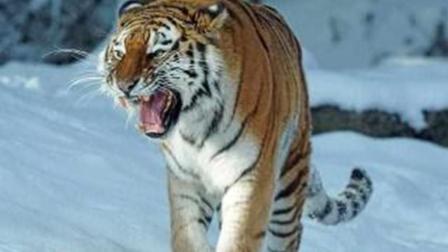 当老虎遇上狼群, 结果不好了