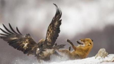 狐狸竟敢动这只大鸟, 老鹰都不是它的对手, 绝对是来找死!