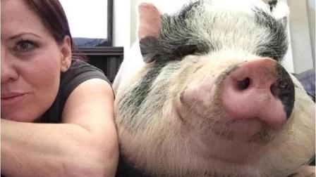 世界上最幸福的猪 被当成宠物疼爱 笑得像个200斤的胖子