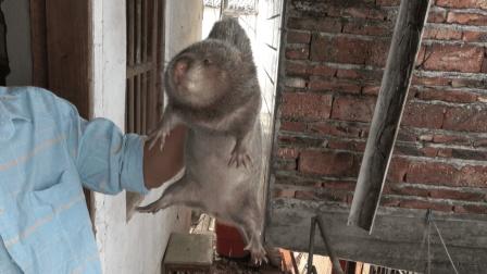 华农兄弟: 小伙喂竹鼠, 发现跑了1只, 找半天, 原来躲在这里