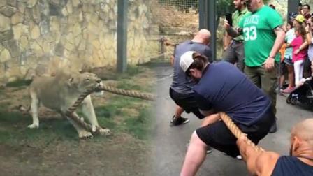 不可思议! 三名摔跤手竟与一只幼狮比力气