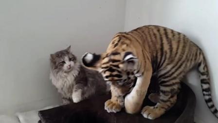 精彩实拍: 老虎主动向猫咪示好, 猫咪的反应看笑了网友