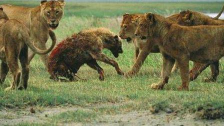 两头雄狮一头去鬣狗老巢清剿幼崽, 另一头带着母狮追杀鬣狗