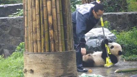 看完这个视频, 你们还想当熊猫饲养员吗? 让它听话? 不可能