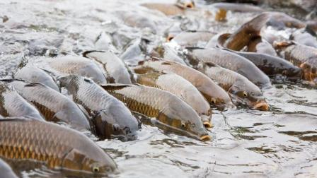 鲤鱼疯狂繁殖还成就了一个旅游景点? 野鸭水踩鱼水上走成奇观