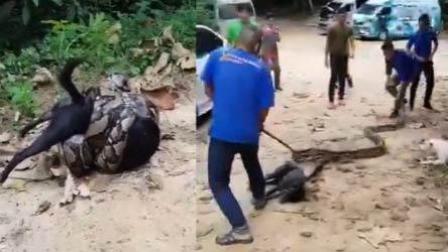 黑狗遭巨蟒缠身危在旦夕 村民持械上前救回
