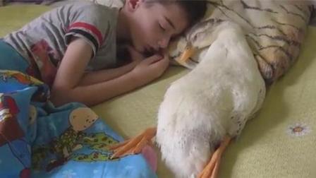 鸭子每天都要和小主人-一起睡, 忘了自己的身份了吧?