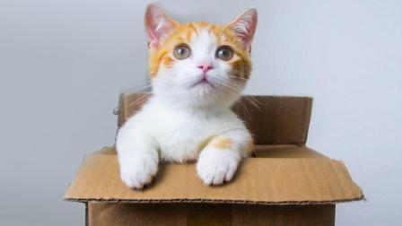 网购短腿小橘猫开箱, 腿只有手指长, 吃的却比大猫还多!