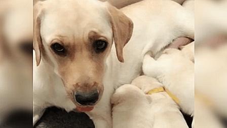 主人说要炖一只小狗, 狗妈妈可不干了: 你再说一遍试试?
