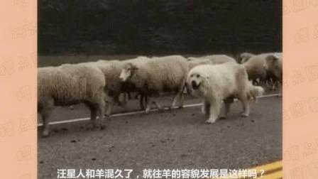 汪星人和羊混久了, 不仔细看还以为是羊呢