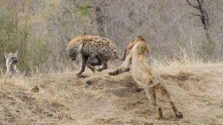 为了报杀幼狮之仇, 雄狮把鬣狗女王前肢咬断, 让鬣狗求死不能